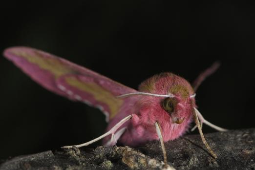 Elephant Hawk-moth (Deilephila porcellus) - near Darmstadt - Germany - June 2014