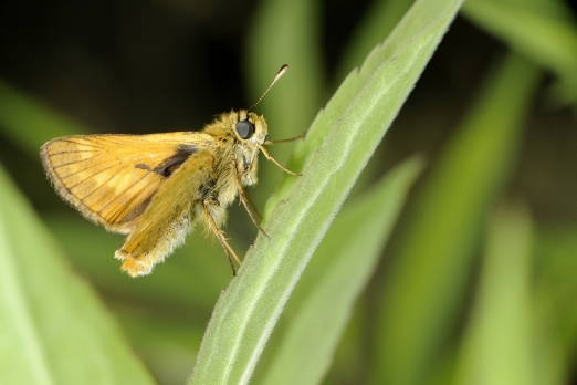 Butterfly (name unassigned) - Prinzenberg - Darmstadt-Eberstadt - Germany - May 2013