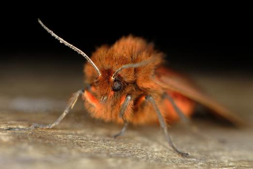 Ruby Tiger (Phragmatobia fuliginosa) - Michelstadt - Germany -  August 2013