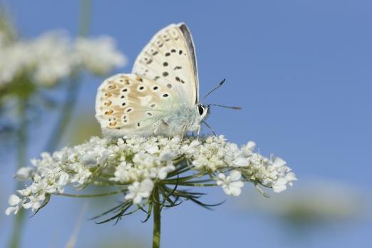 Adonis Blue (Polyommatus bellargus) - Kaiserstuhl - Germany - August 2012
