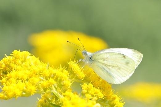 Small White (Pieris rapae) - Kaiserstuhl - Germany - August 2012