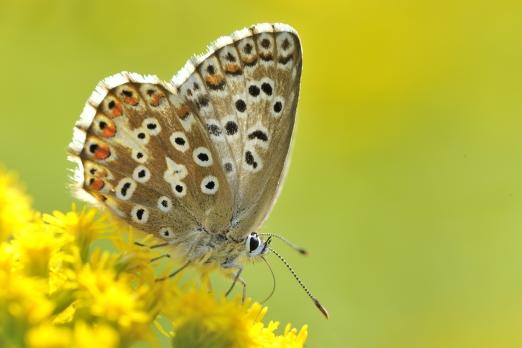 Common Blue (Polyommatus icarus) - Kaiserstuhl - Germany - August 2012