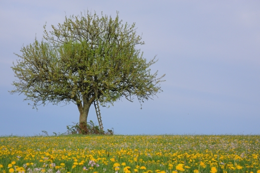 A fruit tree in the summer light - near Zell/Odenwald - Germany - April 2012