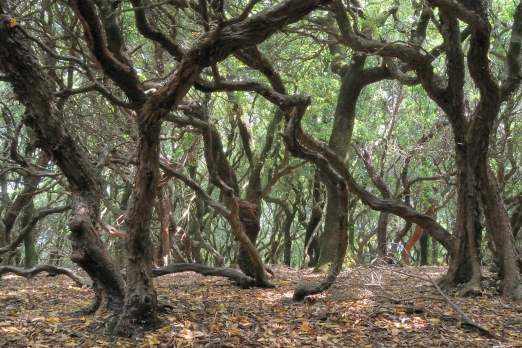 Ranti Forest with old Holm oak and strawberry trees - Ikaria Island - Greece - May 2012