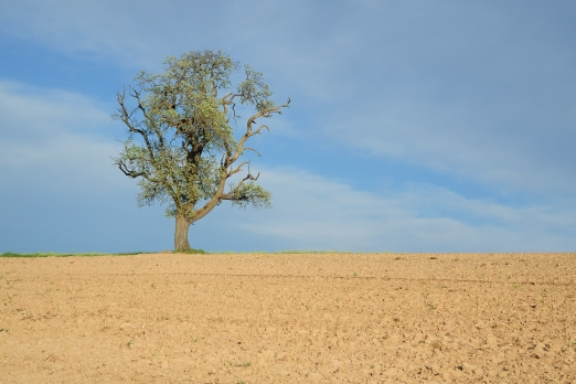 A oak tree in the summer light - near Zell/Odenwald - Germany - April 2012