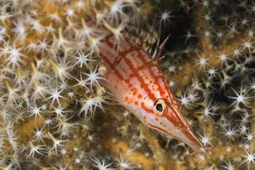 Longnose Hawkfish (Oxycirrhites typus) - Triton Bay - West-Papua - Indonesia 2015