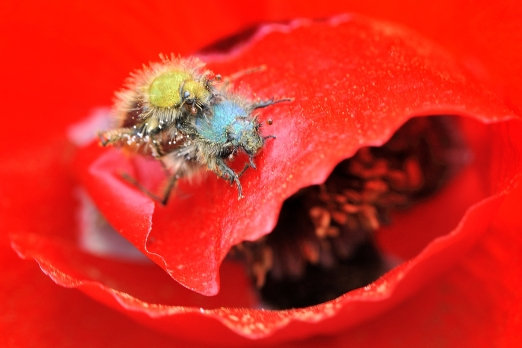 Red poppy with rose beetles - Ikaria Island - Greece - May 2011