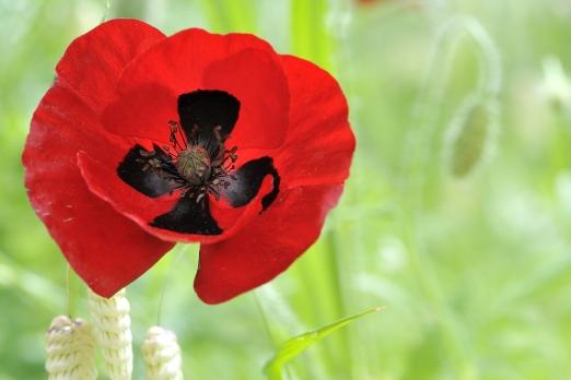 Red poppy - Ikaria Island - Greece - May 2011
