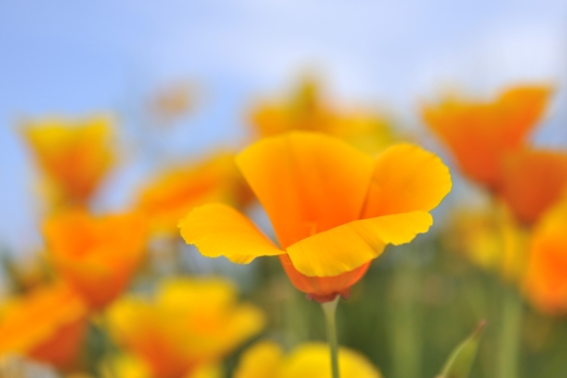 California poppy -Eschscholzia californica- Villa Dimitri - Ikaria Island - Greece - May 2012