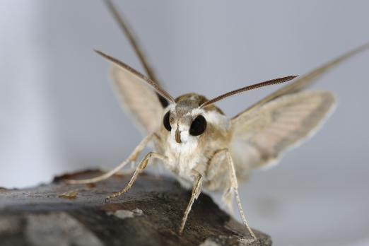 Moth (name unassigned) - Villa Dimitri - Ikaria Island - Greece - October 2012