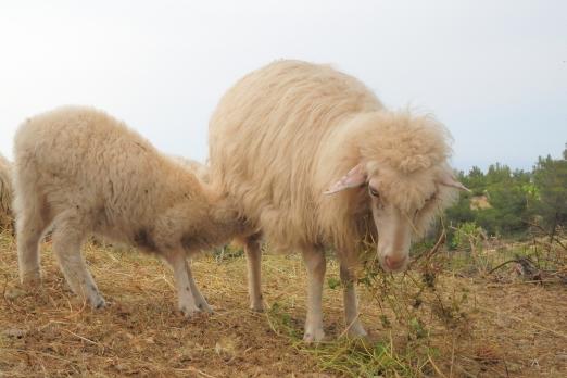 Two sheep from a sheep flock - Ikaria Island - Greece - May 2011