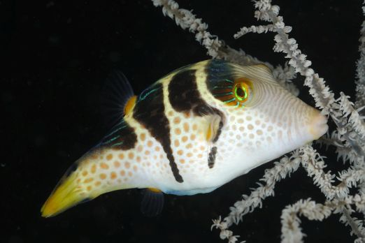 Mimic Saddle Puffer (Paraluterus prionurus) - Triton Bay - West-Papua - Indonesia 2015