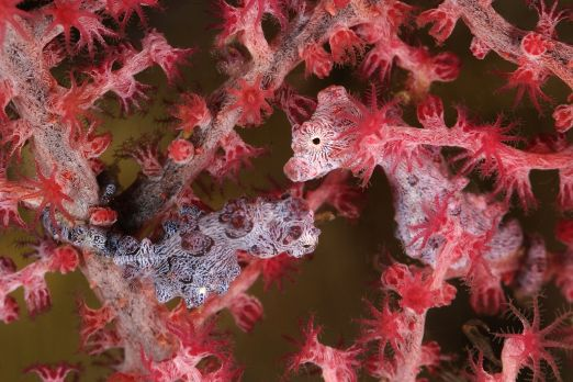 Pygmy seahorse (Hippocampus bargibanti) - Triton Bay - West-Papua - Indonesia 2015
