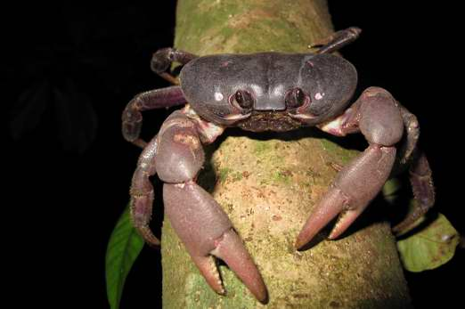 Crab - Ahe Island (Harlem Islands) - Cenderawasih Bay - West-Papua - Indonesia 2011