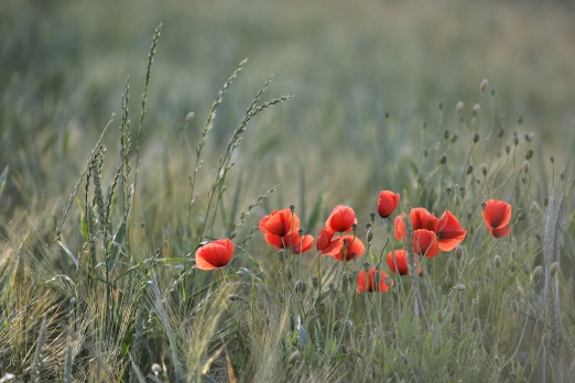 Impression of Red Poppy in barley field - Odenwald/Steinbach - Germany - June 2012