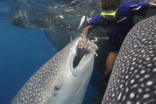 Michael is feeding the whale sharks - Cenderawasih Bay - West-Papua - Indonesia 2011