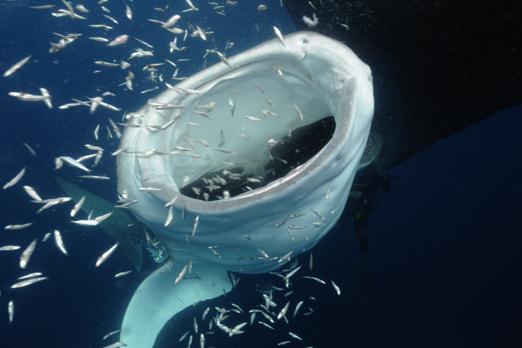Eating whale shark (Rhincodon typus) - Cenderawasih Bay - West-Papua - Indonesia 2011