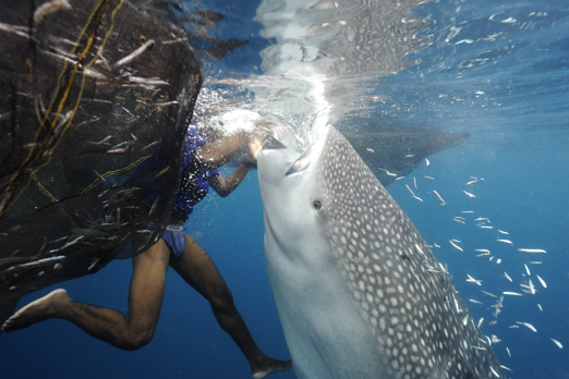 Michael is feeding a whale shark - Cenderawasih Bay - West-Papua - Indonesia 2011