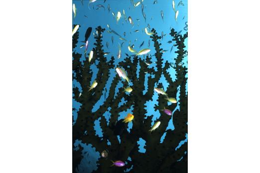 Anthias near Tubastrea micranthus corals - Tawali - Milne Bay - PNG 2006