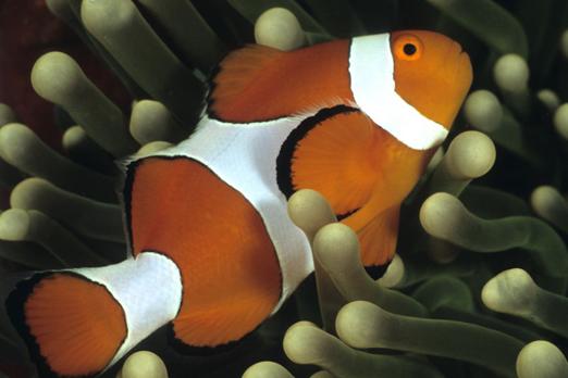 Clownfish - Raja Ampat Archipelago - West Papua - Indonesia 2007