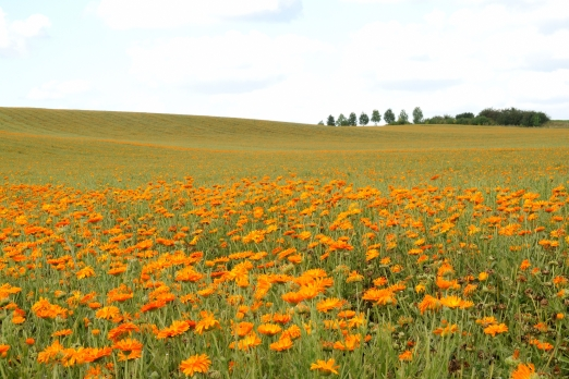 Impression of a calendula field near Habitzhein - Odenwald - Germany - August 2012