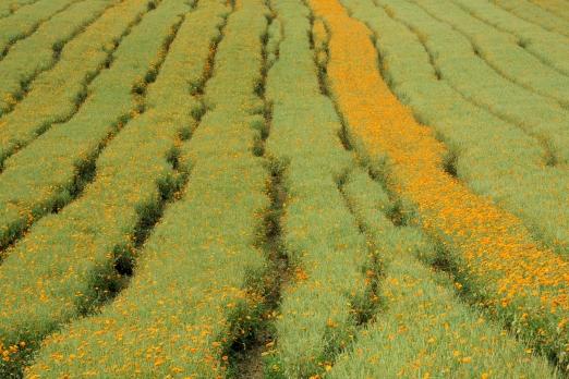 Impression of a calendula field near Habitzhein - Odenwald - Germany - August 2012