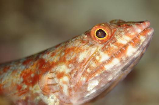 Reef Lizardfish (Synodus variegatus) - PJDR - Dongala/Sulawesi - Indonesia 2010