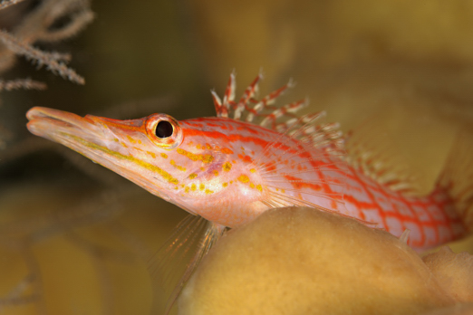 Longnose Hawkfish - Prince John Dive Resort - Dongala/Sulawesi - Indonesia 2010