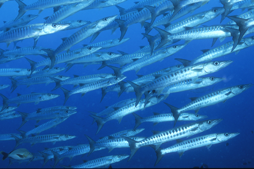 School of barracudas - Walindi - Kimbe Bay - New Britain - PNG 2009