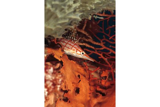Longnose Hawkfish - Walindi - Kimbe Bay - New Britain - PNG 2006