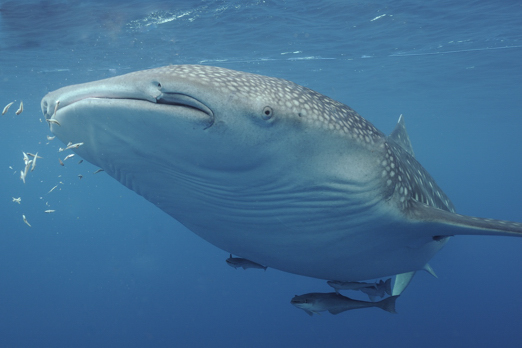 Eating whale shark (Rhincodon typus) - Cenderawasih Bay - West-Papua - Indonesia 2011