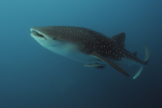Whale shark (Rhincodon typus) - Cenderawasih Bay - West-Papua - Indonesia 2011