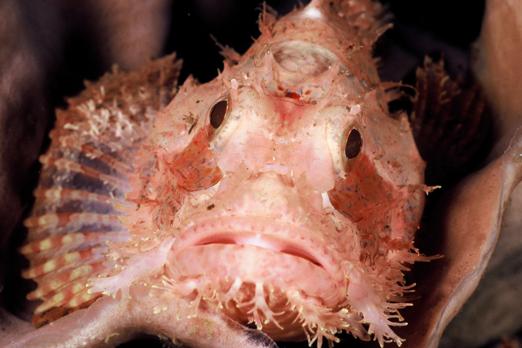Raggy Scorpionfish - Raja Ampat Archipelago - West Papua - Indonesia 2007