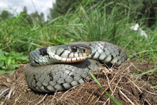 Grass Snake (Natrix natrix) - Kleiner Kuehkopf - Germany - August 2011