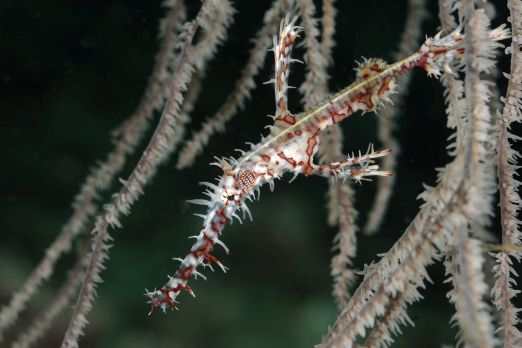 Ghost pipefish (Solenostomus paradoxus) - Triton Bay - West-Papua - Indonesia 2015
