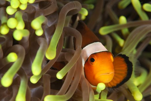 Orange clownfish (Amphiprion percula) - Triton Bay - West-Papua - Indonesia 2015
