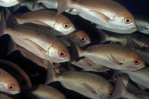 Detail of a school of Pinjalo Snapper (Pinjalo lewisi) - Tufi - Oro Province - PNG 2009