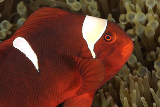 Spinecheek Anemonefish - female - Cenderawasih Bay - West-Papua - Indonesia 2011