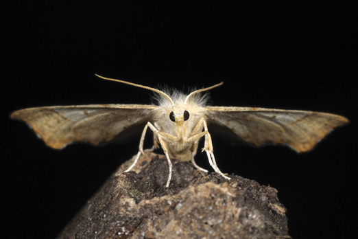 Moth (name unassigned) - Darmstadt-Eberstadt - Prinzenberg - Germany - June 2010