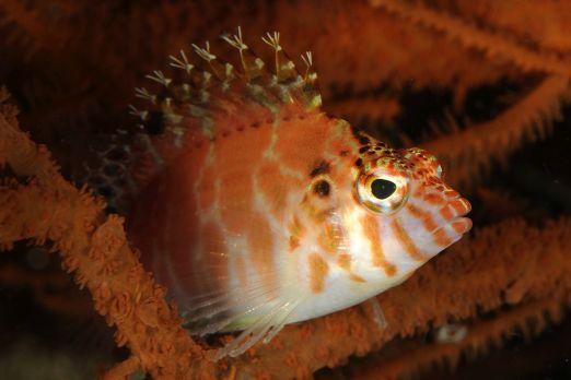 Spotted hawkfish (Cirrhitichthys aprinus) - Triton Bay - West-Papua - Indonesia 2015
