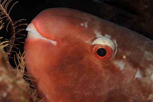 Detail of a Red Parrotfish - Cenderawasih Bay - West-Papua - Indonesia 2011
