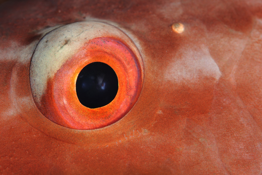 Red Parrotfish eye - Harlem Islands - Cenderawasih Bay - West-Papua - Indonesia 2011