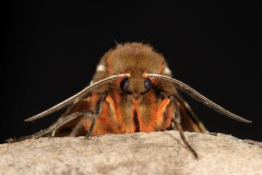 Garden Tiger Moth (Arctia caja) - Darmstadt-Eberstadt - Germany - August 2010