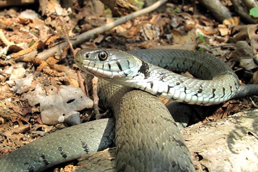 Grass Snake (Natrix natrix) - Darmstadt-Eberstadt - Hetterbach - Germany - April 2011