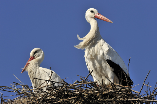 Juvenile and parent of White Storks - Biebesheim - Germany - March 2011