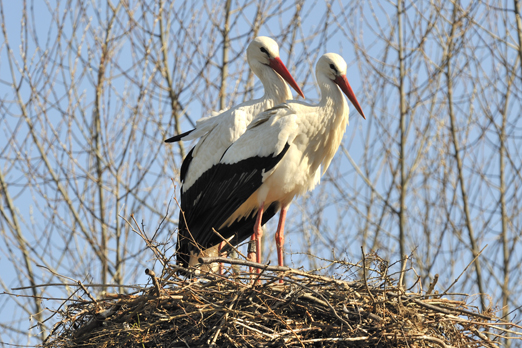 Pair of White Storks - Biebesheim - Germany - March 2011
