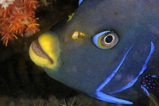 Semicircle angelfish (Pomacanthus semicirculatus) -Triton Bay- West-Papua - Indonesia 2015