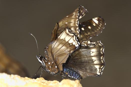 Common Eggfly (Hypolimnas bolina) - Darmstadt - Vivarium - Germany - July 2011