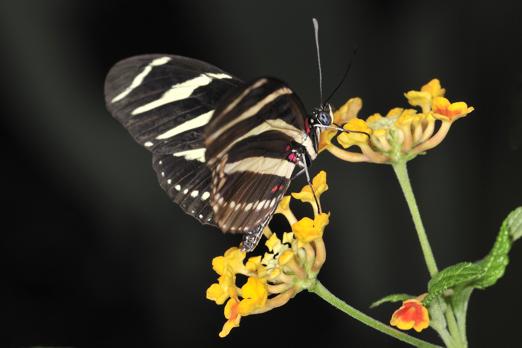 Zebra Longwing (Heliconius charithonia) - Darmstadt - Vivarium - Germany - July 2011