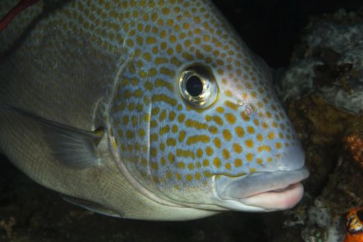 Goldspotted sweetlip (Plectorhinchus flavomaculatus)-Triton Bay-West-Papua-Indonesia 2015